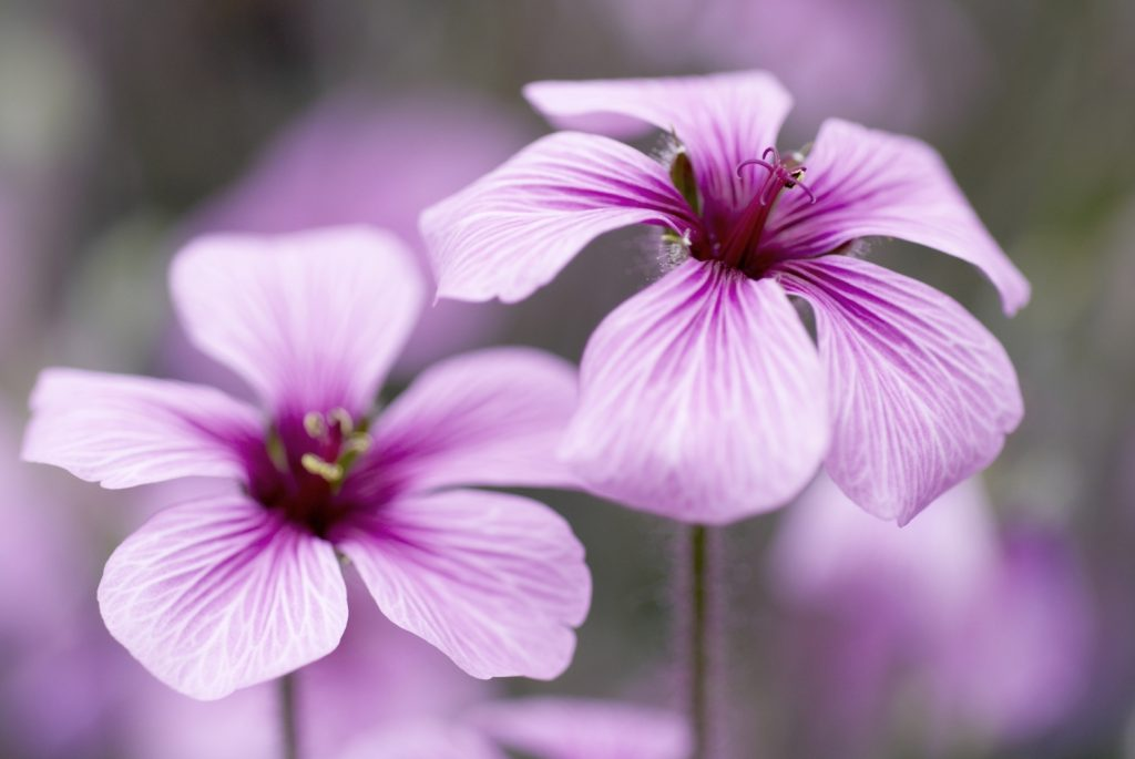 Geranium essential oil for stretch marks