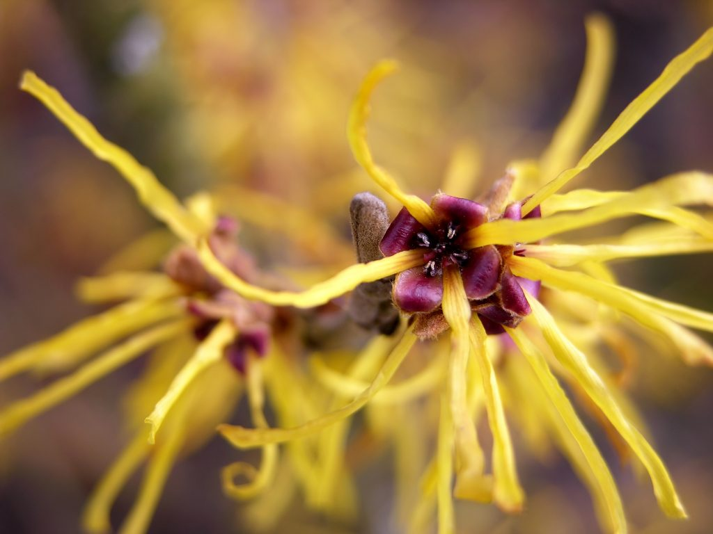 witch hazel to get rid of hemorrhoids