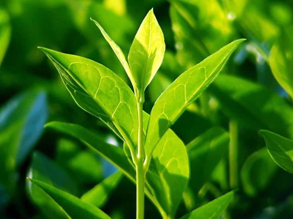 Tea Tree Essential Oil ringworm home remedy