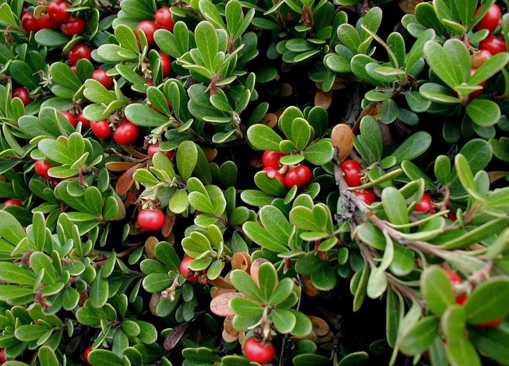 bearberry to get rid of kidney stones