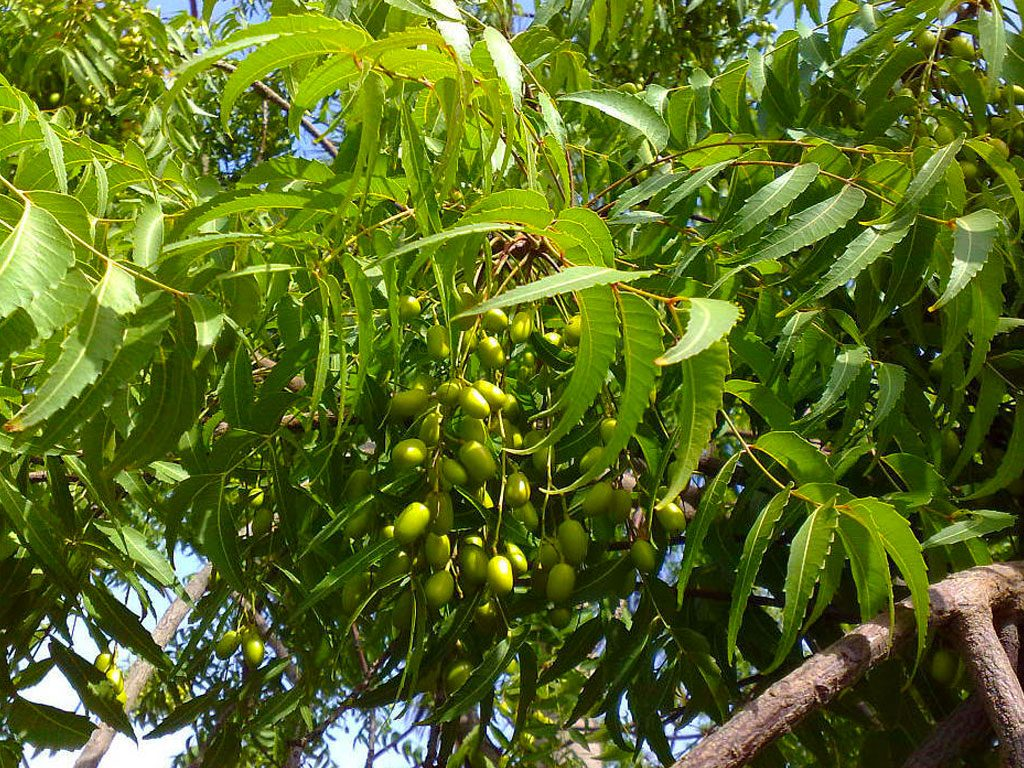 Neem Plant as a home remedy for scabies
