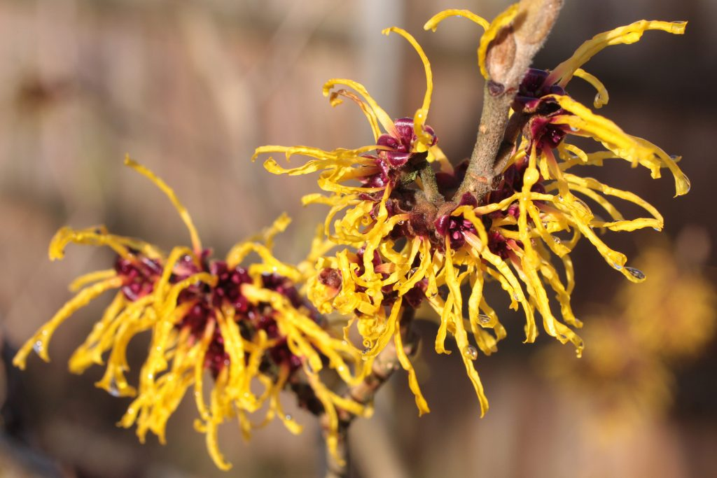 witch hazel as a natural remedyfor razor bumps