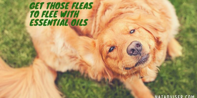 2 Best Essential Oils to prevent Fleas & 5 Natural Recepies To Get Read Of Fleas On Dogs, Cats And Around Your House